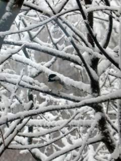 Chickadee in the first snow